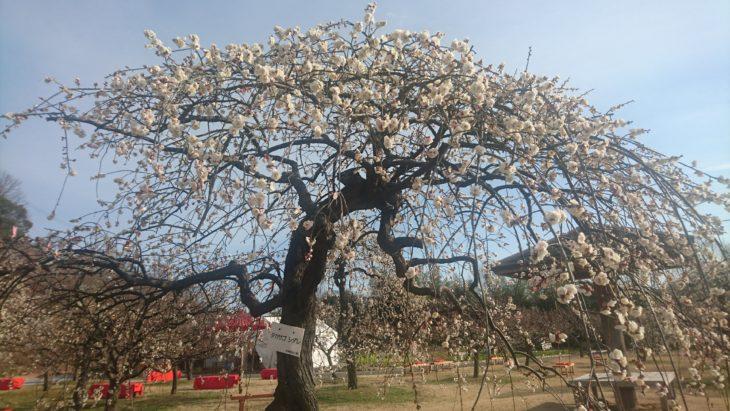 岡山市東区神崎町、しだれ、2019年、梅まつり、神崎梅園、白梅、