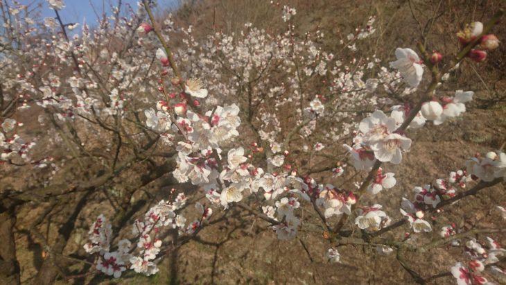 岡山市東区神崎町、2019年、梅まつり、花弁、白梅、梅園